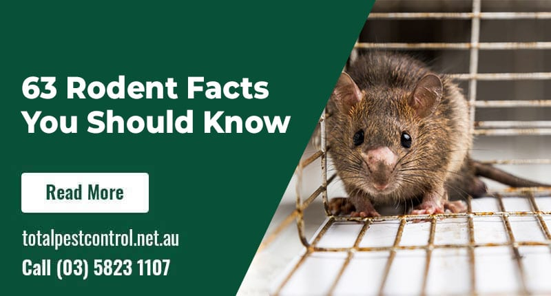 63 Rodent Facts You Should Know – Coming Straight from rodent removal Shepparton Experts